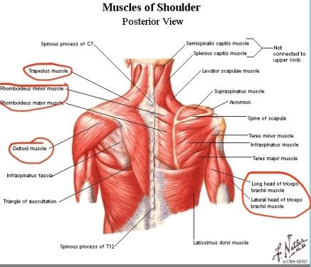 Posterior_Shoulder_Muscles